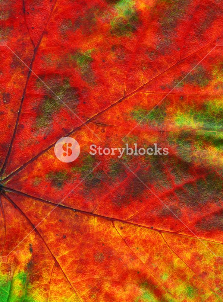 Macro Shot Of A Beautiful Autumn Maple Leaf