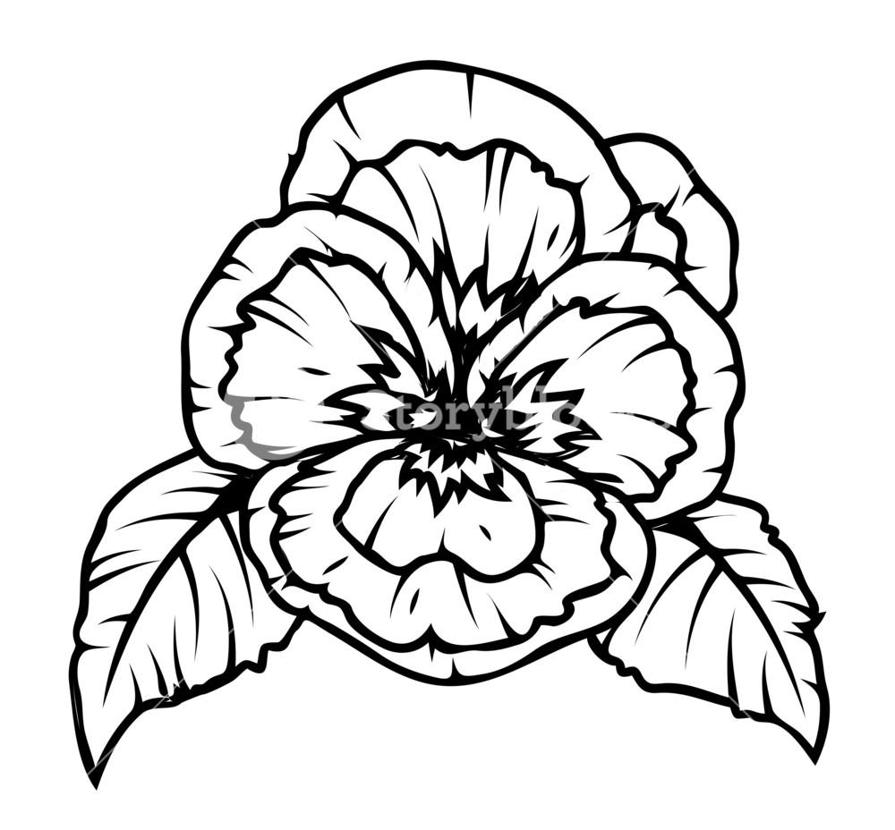 Poppy Flower Drawing Royalty Free Stock Image Storyblocks
