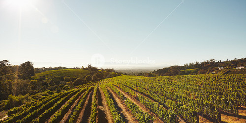 Rows of vines in vineyard under clear blue sky. Field of grape vines during summer. Grape farming for winery.