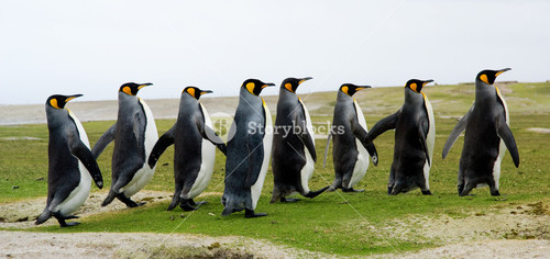 8 King Penguins walking in a line