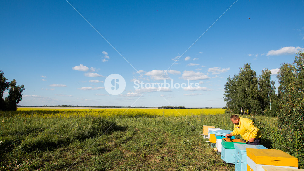 beekeeper and flying bees on blossom yellow field