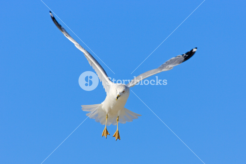 Bird in fly with blue sky. Ring-billed Gull, Larus delawarensis, from Florida, USA. White gull in flight with open wings. Action scene in nature. Wildlife from coast. Flying gull with blue sky.