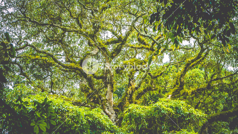 Branches of a top huge ancient Banyan tree covered by moos in Bali Jungle