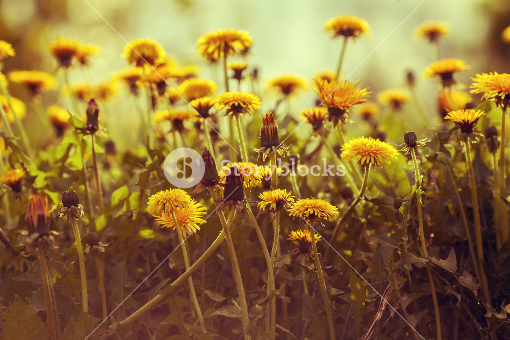 Dandelion flowers at sunset against sky. Vintage color correction