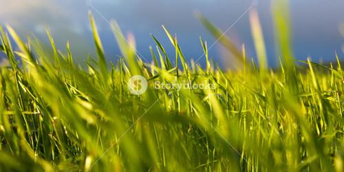 Early morning wheat closeup
