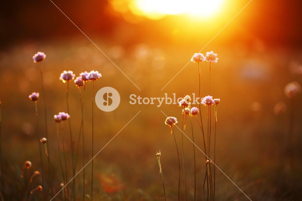 Flowers au sunset. Nature