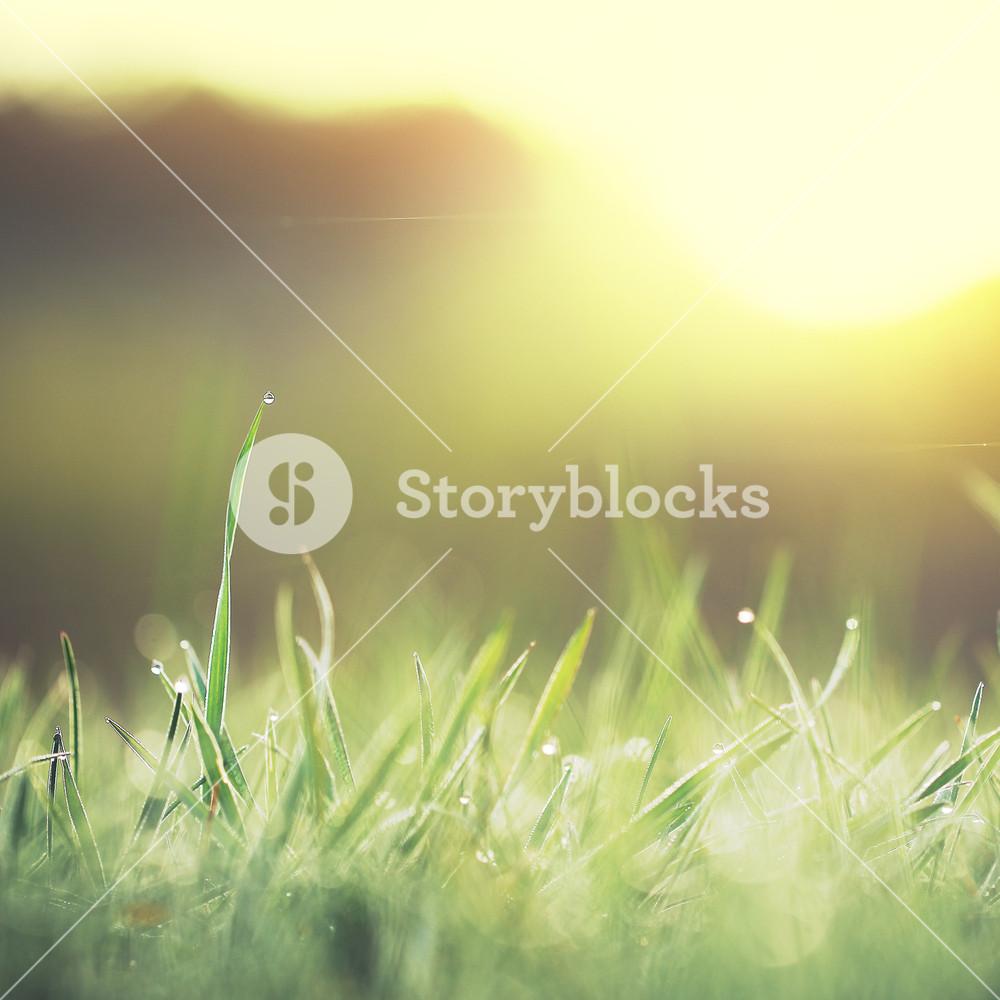 Green little grass in field. Nature outdoor background