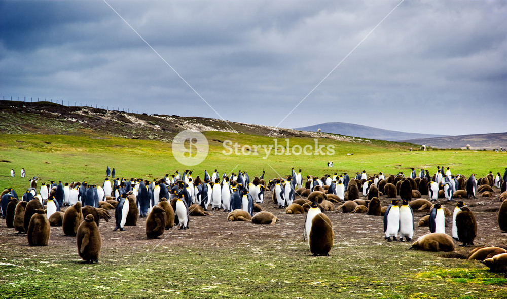 King Penguin Colony in the Falkland Islands