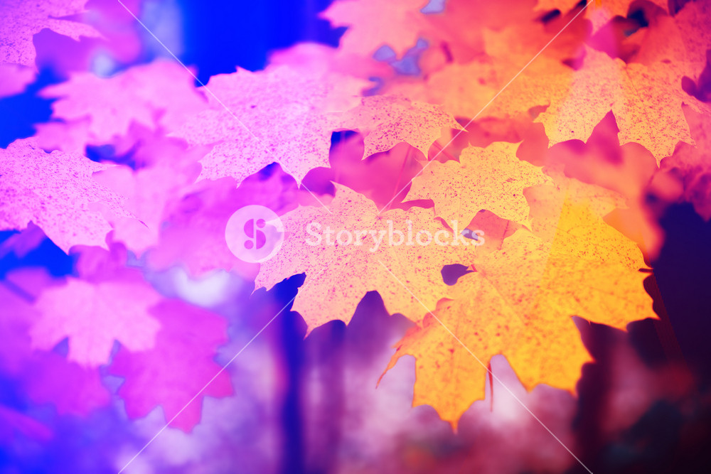 Maple Branch With Red Leaves In The Forest In Autumn At Sunset Purple Orange Gradient Color Royalty Free Stock Image Storyblocks
