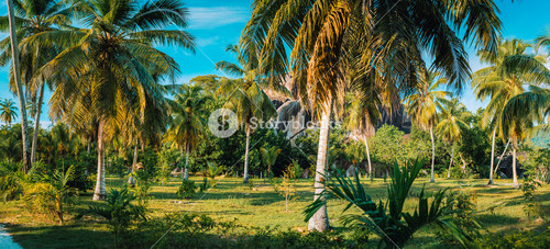 Palm grove panorama scenery in coconut plantation against granite rocks and blue sky in L Union Estate on La Digue Island, Seychelles