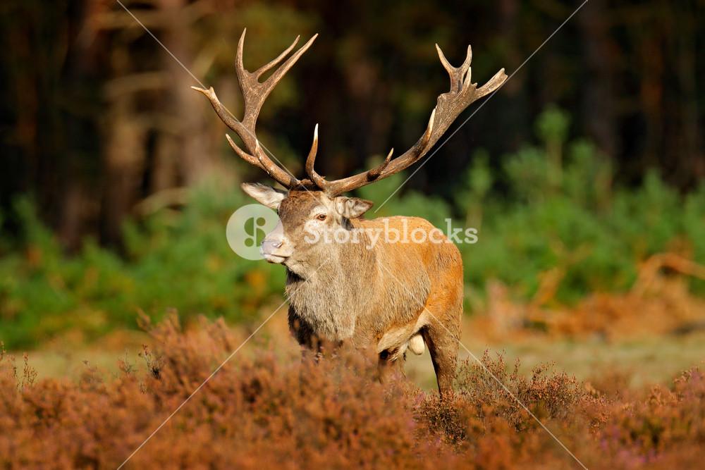 Red deer, rutting season, Hoge Veluwe, Netherlands. Deer stag, bellow majestic powerful animal outside wood, big animal in forest habitat. Wildlife scene, nature. Moorland, autumn animal behaviour.