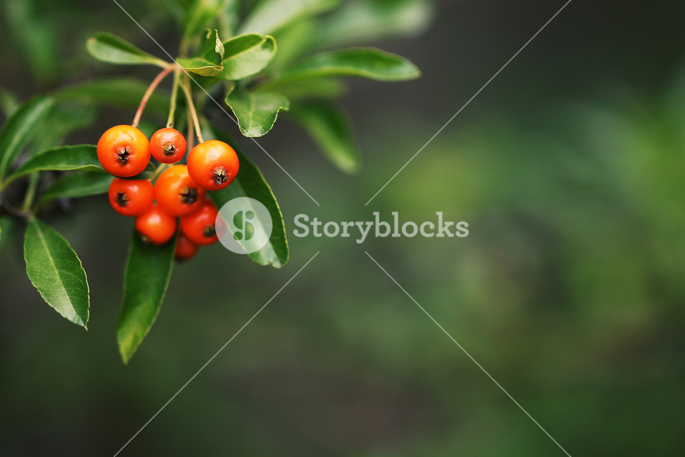 ripe orange powan berries on green nature background