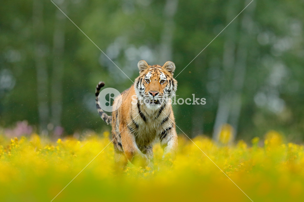 Siberian tiger in beautiful habitat. Amur tiger sitting in the grass. Flowered meadow with danger animal. Wildlife Russia. Summer with tiger. Animal walking in bloom. Tiger with yellow flowers.