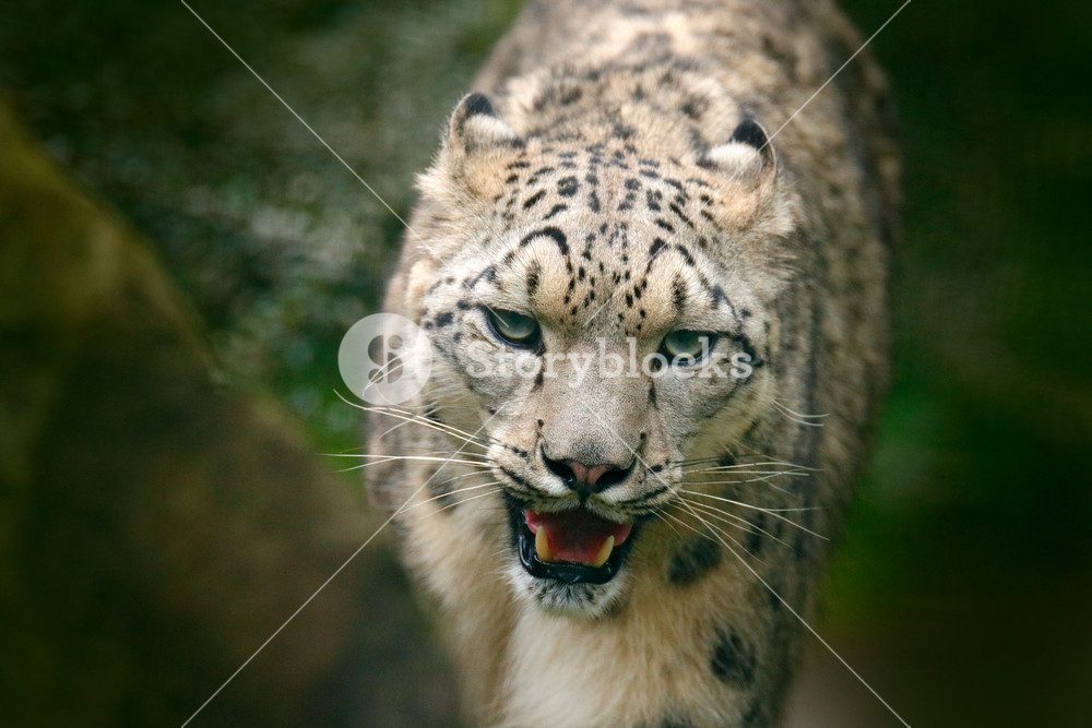 Snowy leopard. Face portrait of snow leopard with green vegation, Kashmir, India. Wildlife scene from Asia. Detail portrait of beautiful big cat snow leopard, Panthera uncia. Irbis in nature habitat.