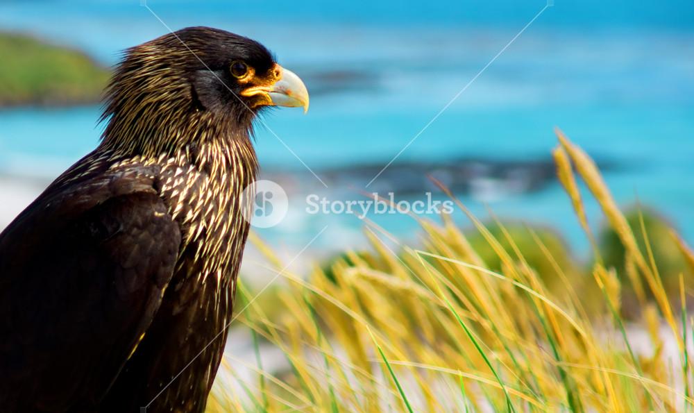 Striated Caracaras overlooking Sea Lion Island coastline