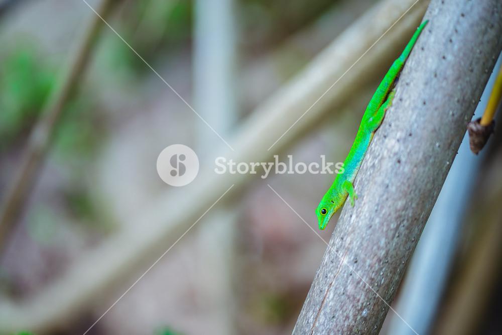 Tropical green neon Lizard Geco on palm trunk on La Digue island, Seychelles. Travel adventure concept