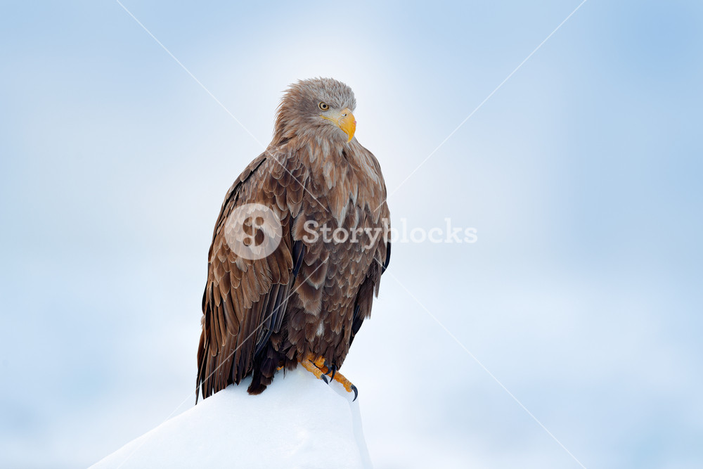 White-tailed eagle, Haliaeetus albicilla, Hokkaido, Japan. Action wildlife scene on ice.  Bird in nature sea habitat, snow with ice. Winter scene with bird of prey. Big bird with snow. Wildlife Japan.