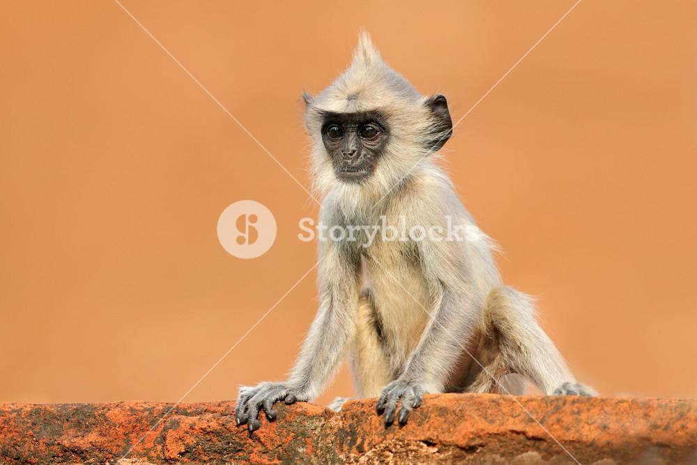 Young monkey on the orange wall. Wildlife of Sri Lanka. Common Langur, Semnopithecus entellus, monkey on the orange brick building, nature habitat, Sri Lanka. Urban wildlife. Monkey with long tail.