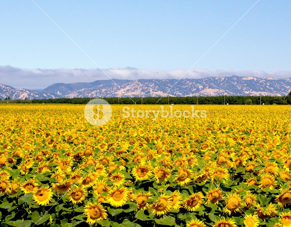 Sunflowers Valley