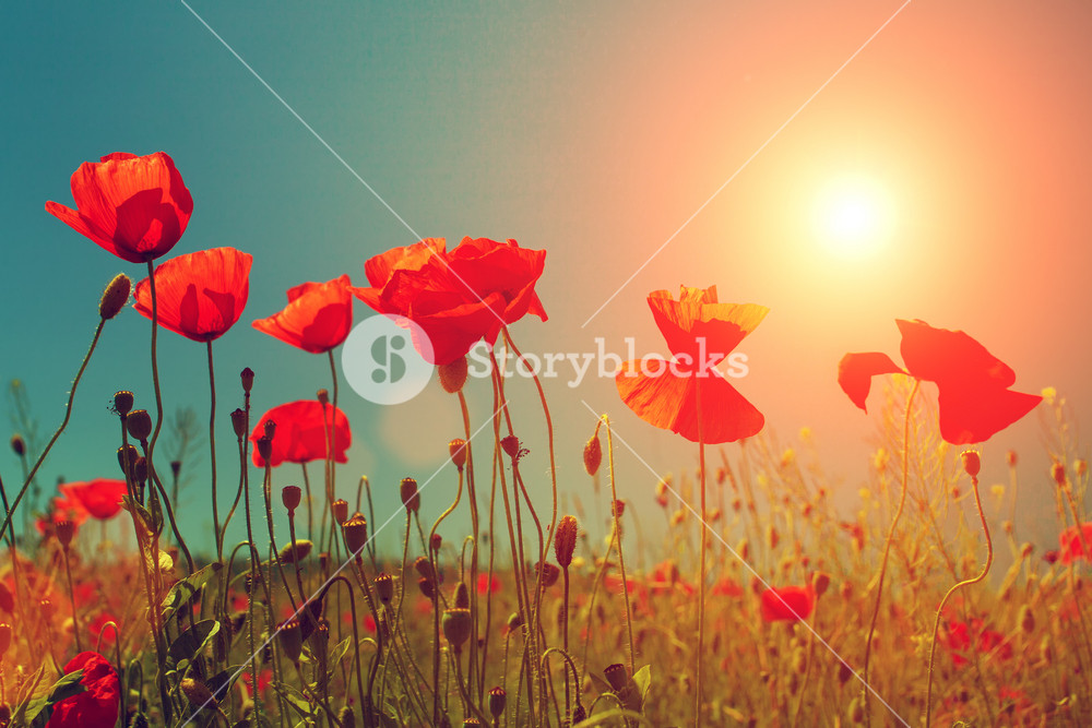 Sunset over poppies field