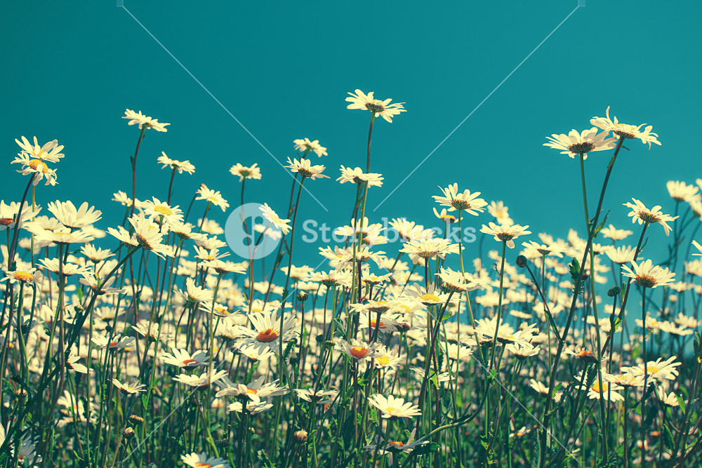 Vintage chamomile flowers against blue sky