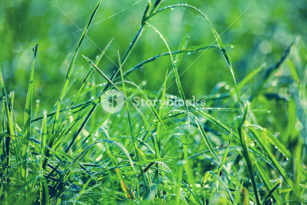 Wet green lawn after rain