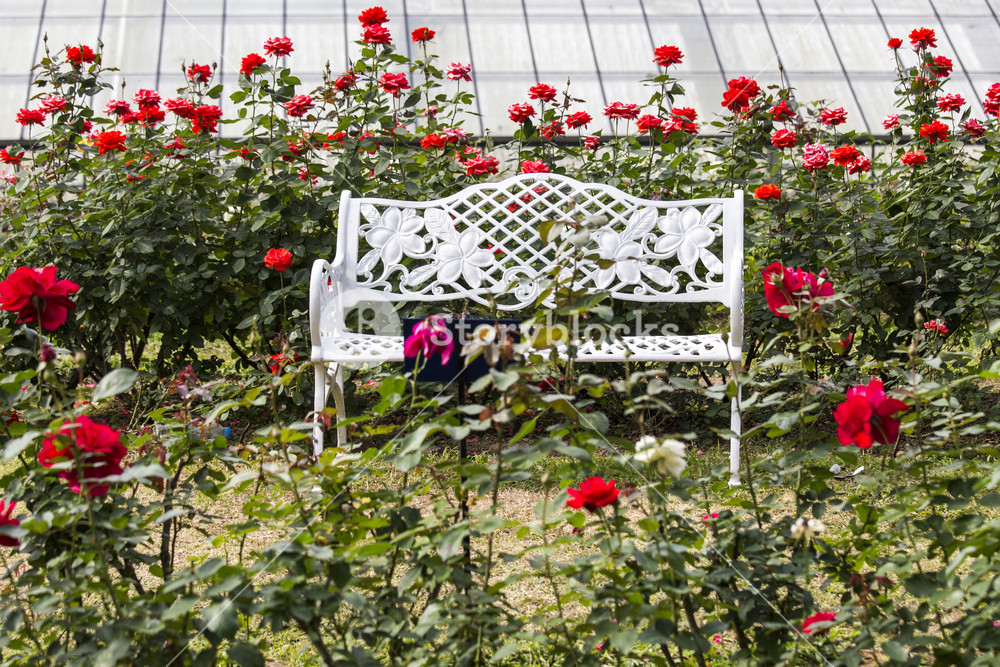 White Chairs On Red Rose Gardens Royalty Free Stock Image Storyblocks