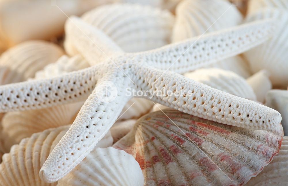 White Finger Starfish And Seashells