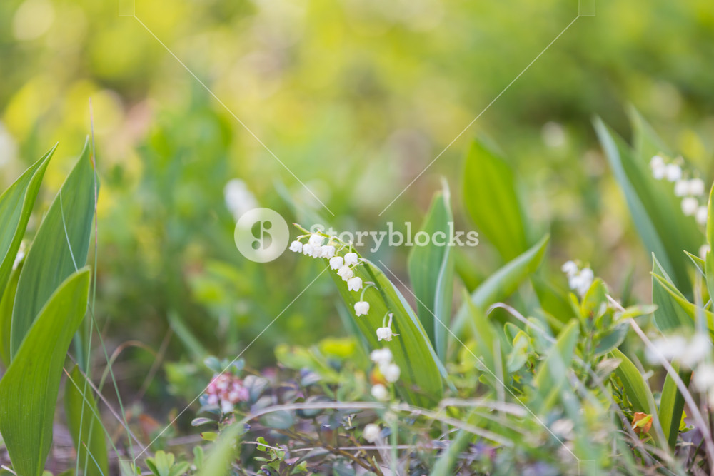 Wild lily of the valley flowers growing in springtime forest.