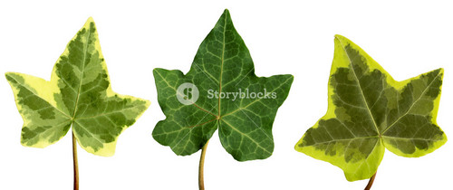 With Clipping Path. Isolated English Ivy Leaf Against A White Background