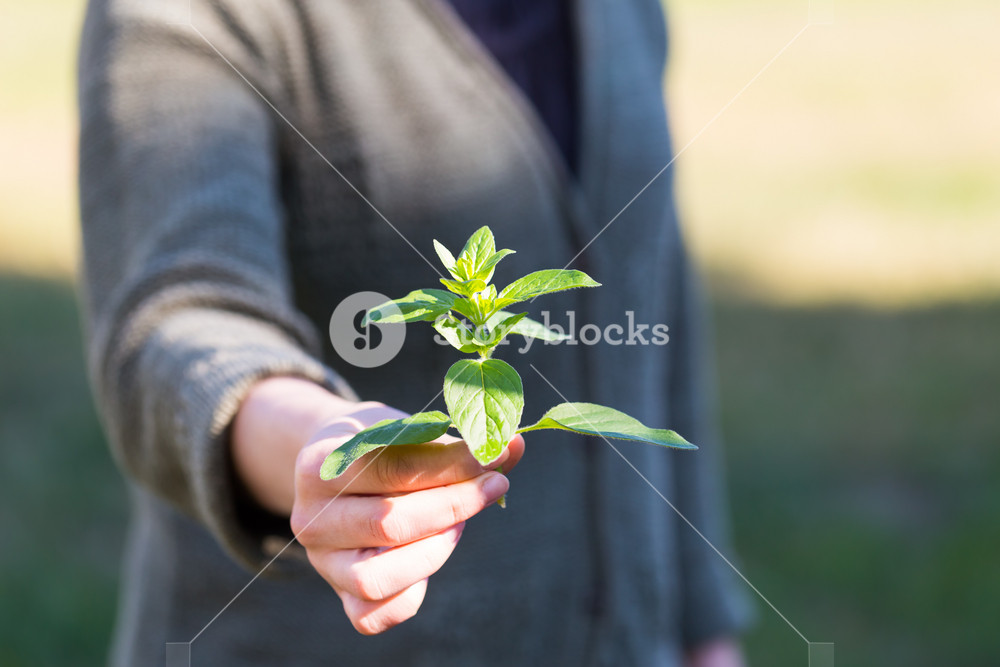Woman hands with fresh just picked oregano twig. Nature organic fresh herb.